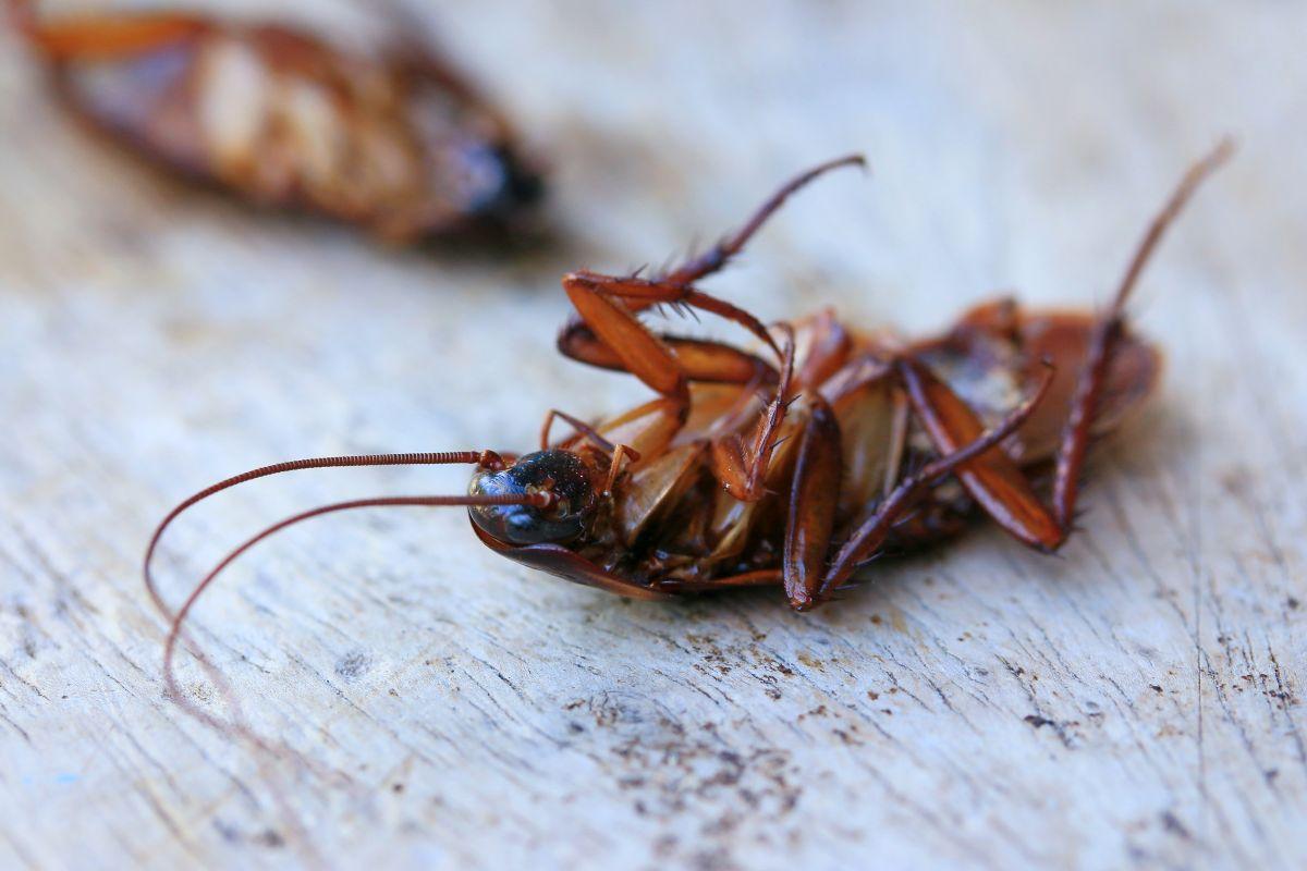 Quel Produit Pour Tuer Les Blattes désinsectisation cafards et blattes à vaires-sur-marne (77)