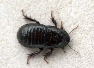 cafards blattes nid danger pourquoi et comment s 39 en. Black Bedroom Furniture Sets. Home Design Ideas