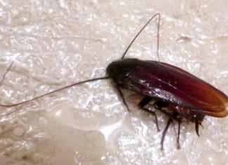 cafards blattes nid danger pourquoi et comment s 39 en d barrasser. Black Bedroom Furniture Sets. Home Design Ideas